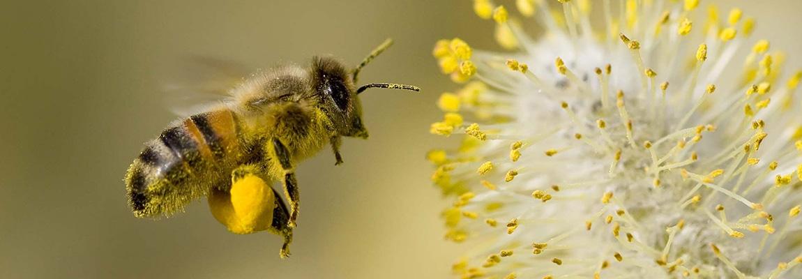 Ce s-ar întâmpla dacă albinele ar dispărea ?